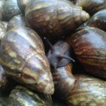 Snail Farming Business Plan in Nigeria / How to Start a Snail Farm