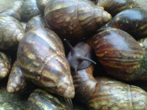 Feasibility Study on Snail Farming in Nigeria