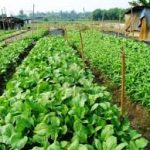 commercial vegetable farming in nigeria