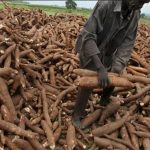 Cassava Farming Business Plan in Nigeria | Feasibility Study On Cassava Production