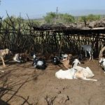 Commercial Goat Farming Business Plan in Nigeria