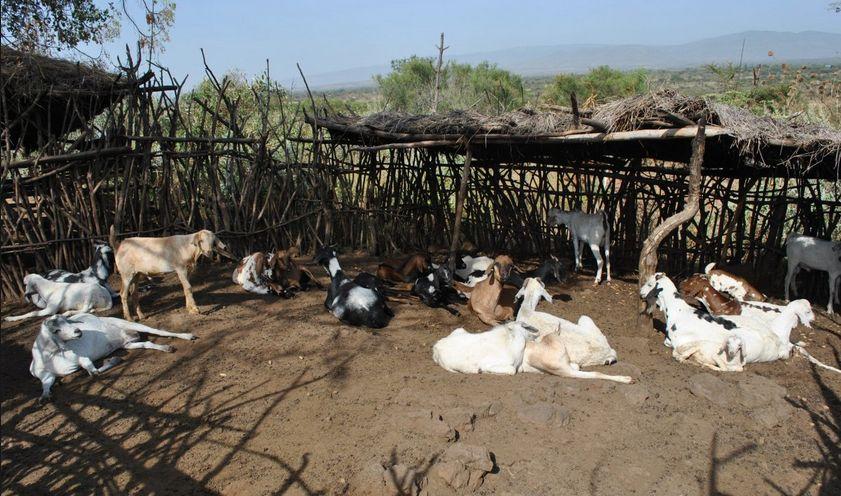 goat farming business plan pdf india