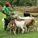Goat Farming Business Plan in Nigeria – Feasibility Study on Goat Farming