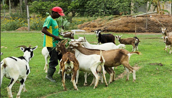 Goat Farming Business Plan in Nigeria - Feasibility Study on Goat