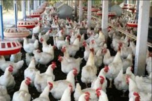 Poultry Farming in Nigeria: COMPLETE GUIDE + BUSINESS PLAN