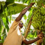 sample banana farming business plan in nigeria