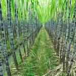 current sugarcane farming business plan in nigeria