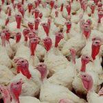 updated turkey business plan in nigeria
